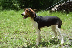 Felix is a 1 year old, male tri color walker coonhound
