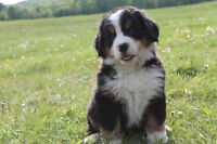 Adorable Bernese Mountain dog puppies
