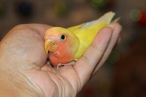Adorable, super tame peach-faced cinnamon baby lovebird