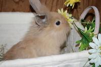 Lionhead Rabbit For Sale!