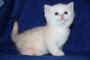 BEAUTIFUL BRITISH SHORTHAIR and SCOTTISH FOLD KITTENS