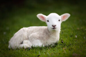 Looking for BOTTLE FEED Lamb for Easter Photo Sessions