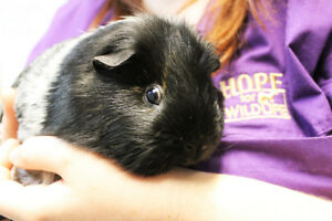 Guinea Pig for Adoption - Bon Jovi (male, 9 months old)