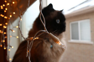 LOST HIMALAYAN CAT, REWARD IF FOUND-whitby country lane area