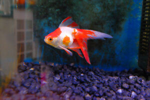 3 Goldfish to rehome