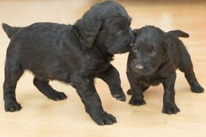 Labradoodle Puppies two left
