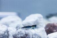 Carbon Rili Shrimps