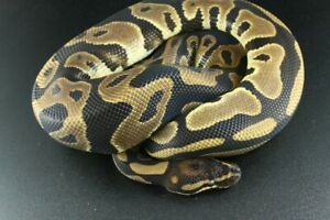 Leopard Double Het Dreamsicle and Dreamsicle Males