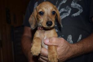 CKC Wirehair mini dachshunds - Available now