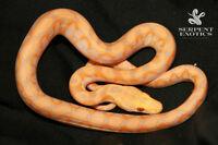 Pythons reticulés SuperNain Albinos (SuperDwarf)