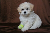 -ALL SOLD- Toy Poodle Shih tzu mix puppies!