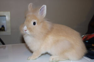Adorable Orange Lionhead rabbit