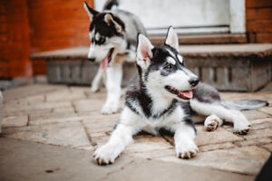 Husky Puppies - Fully Insured with Vet History [1 remaining]