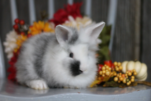 Five male lionhead baby bunnies looking for their forever homes