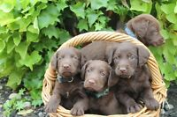 Chocolate Labradoodle female pup