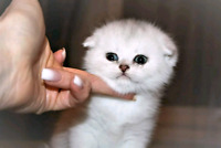 Wonderful Pure Breed Scottish Fold!!! Waiting list is open! City of Montréal Greater Montréal Preview