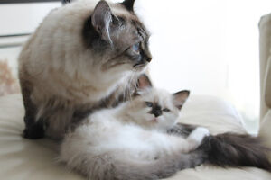 2 adult ragdolls for rehoming