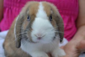 Fluffy blue eye mini lops males