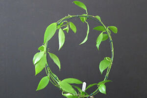 Hoya dipterra