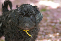 Teddy Bear Goldendoodle and Parti Poodle Puppies For Sale