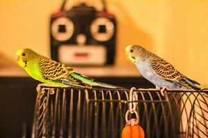 two lovely budgies rehoming