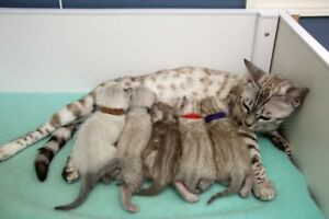 snow bengal kittens