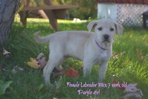 Lab mix puppies ! only 2 female left
