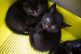 Lovely sable brown cross kittens