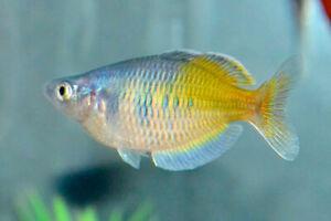 Boesemani Rainbow Fish Sale 2 for $30