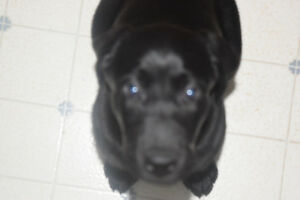 WANTED PURE BRED BLACK MALE LAB PUPPY