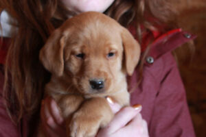 CKC fox-red/yellow labs