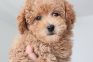 Beautiful toy teddy poodle puppy