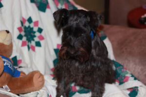 Beautiful Miniature schnauzers For sale
