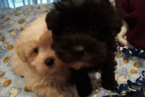 Maltipoo | Adopt Dogs & Puppies Locally in Ontario | Kijiji