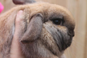 Holland lop with her hutch