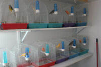 QUALITY SINGER CANARIES +TRANSPORTATION CAGE+ACCESORIES