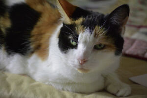 Lost - 16 yr old Calico Cat Sarnia Sarnia Area image 2