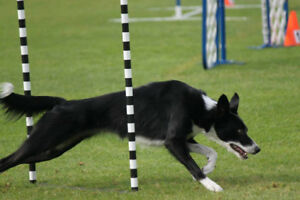 Dog Agility Group Lessons (Beginner, Advanced & Puppy)