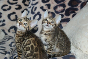 Purebred Bengal Rosetted Kittens-- TICA Registered