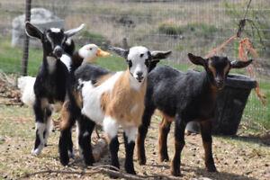 Herd Dispersal: Nigerian Dwarf and Nubian mini goats breed stock