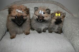 Adorable Pure Pomeranian Puppies