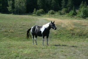 APHA Registered Black Tobiano Mare