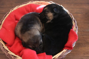 Purebred German Shepherd Christmas Puppies   Ready to Go