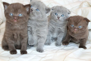 PUREBRED SCOTTISH FOLD  KITTENS