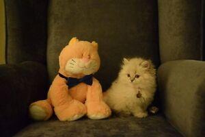 Stunning Persian, Ragdoll and Himalayan kittens