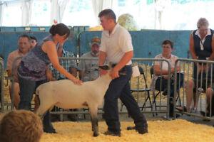 Hampshire Ram Lamb