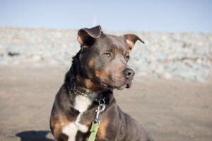 Kirby- Adult male mix breed