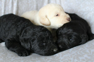 F1 Labradoodles! 1 cream and 2 black males available!