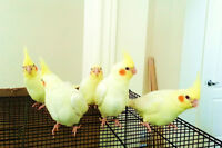 Super Tamed, Handfed, Young &Great Quality Cockatiels for Sale