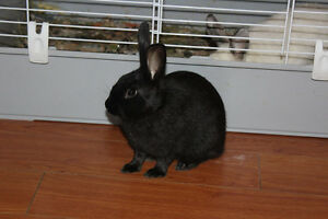 12 week old female bunny ready for home